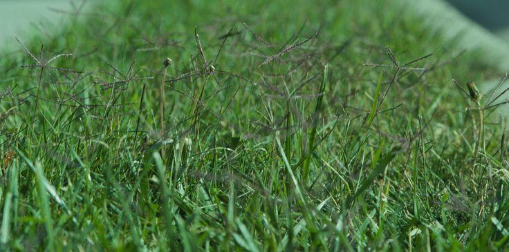 Grama (Cynodon dactylon), la hierba más utilizada para césped - https://www.jardineriaon.com/cynodon-dactylon.html #plantas