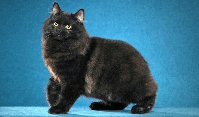 Cymric cat breed #catlitterboxtips #CatSprayingBakingSoda