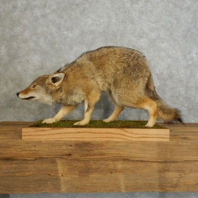 This amazing coyote is available now @thetaxidermystore.com