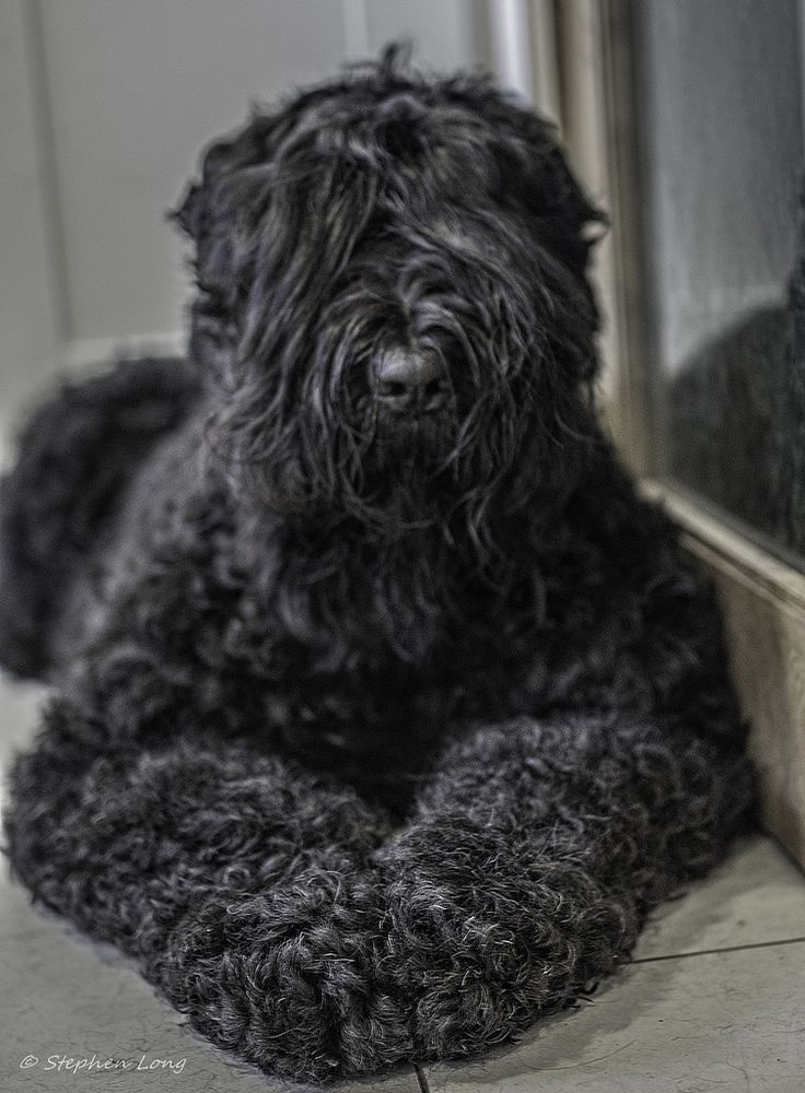 Black Russian Terrier                                                                                                                                                                                 Mehr
