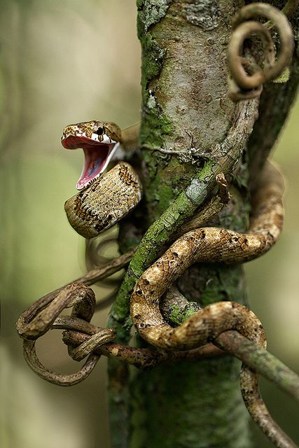 A Common Bird Snake (Pseustes poecilonotus) in the Peruvian Amazon