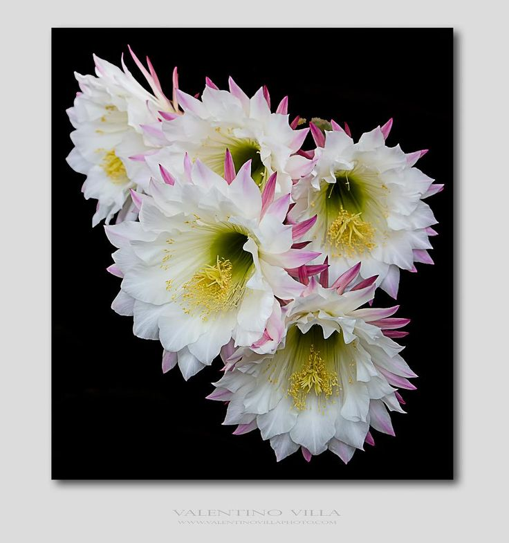 Cactus Flowers by valentino.villa.5