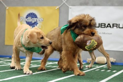 02-06 Can You Adopt The Puppy Bowl Puppies? Animal... #PuppyBowl: 02-06 Can You Adopt The Puppy Bowl Puppies? Animal Planet's… #PuppyBowl