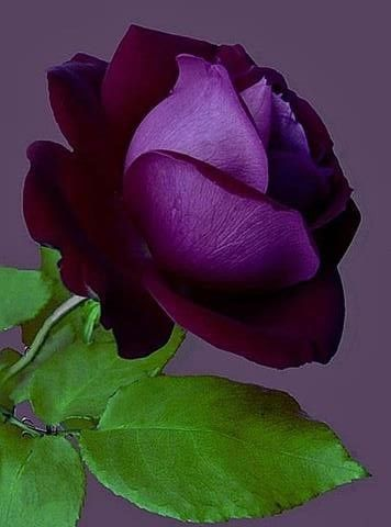The artist is the confidant of nature, flowers carry on dialogues with him through the graceful bending of their stems and the harmoniously tinted nuances of their blossoms. Every flower has a cordial word which nature directs towards him. ~Auguste Rodin Purple rose...                                                                                                                                                                                 More