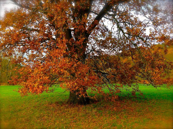 Grand chêne d'automne, vallée de la Bruche (© vbernard)