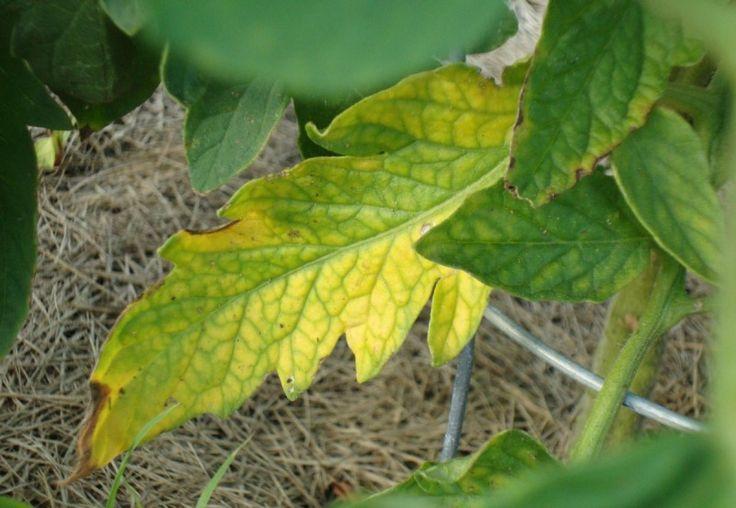 Как бороться с желтеющими листьями на помидорах :: Сад и огород :: Сад и огород