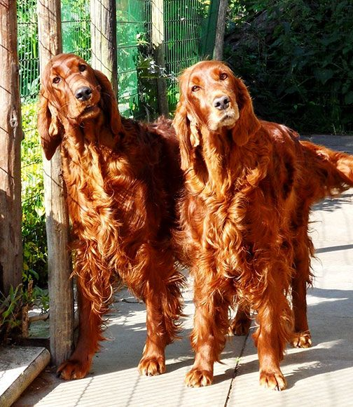 Hall Irish setter Puppy Photos July 2010 - Sugar's parents, Mollie and Ghillie
