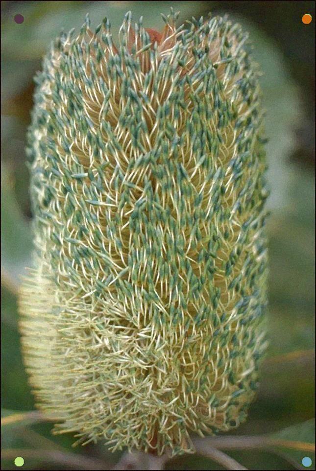The Many Colors Of Banksia Robur Australian Native Flowers Native Garden Australian Native Plants