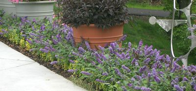 dwarf butterfly bush used in a mass like an annual, but comes back every year.  Like this