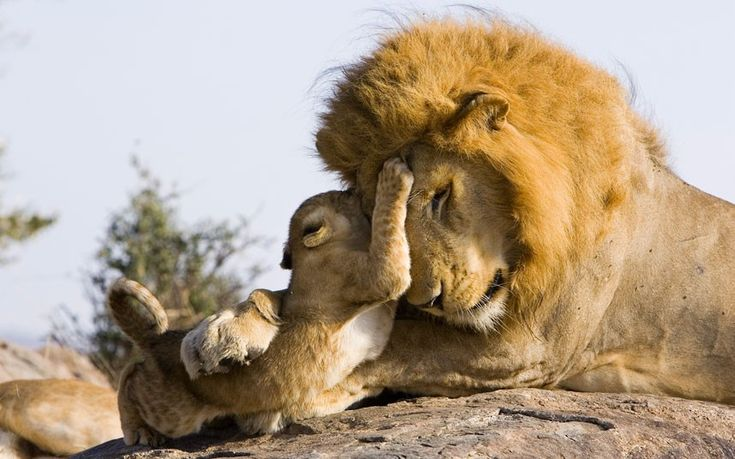 The cub is literally meeting dad for the first time ever :)