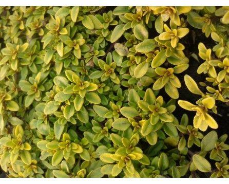 Macierzanka cytrynowa (Thymus x citriodorus) Aureus - Szkółka Bylin   KrainaBylin