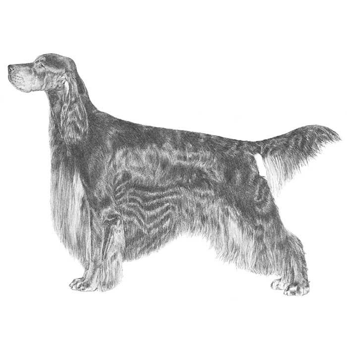 Gordon Setter Rescue Ohio 27 best Afghan Hound i...