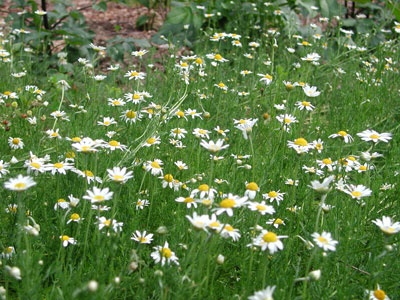 Chamomile Roman Attractive Feathery Low Ground Cover