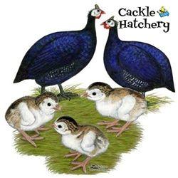 Guinea Fowl for Sale | Purple Guinea Fowl | Guinea Keets, and Lavender Guinea