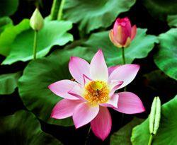 The meaning of Nam-myoho-renge-kyo   Buddhism   Soka Gakkai International (SGI)