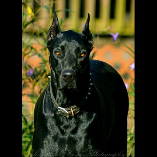 warlock doberman pinscher 18 - photo #30