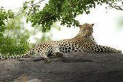 South Africa has banned leopard hunting, saying they don't know the size of the leopard population and therefore hunting would be irresponsible. Video provided by Newsy
