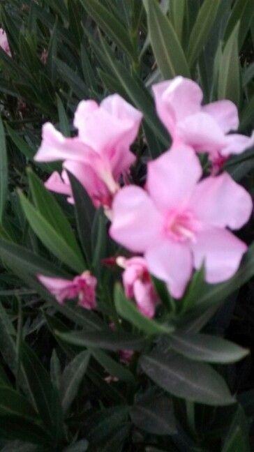 Floresitas rosada