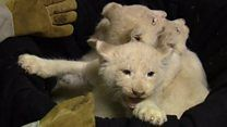 White lion cubs make Magdeburg Zoo debut - BBC News