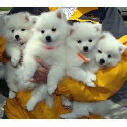 American Eskimo puppies. What our little man looked like!