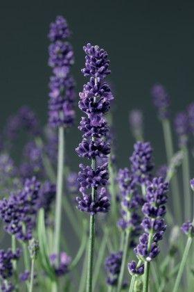 Lavender English #pohlmansnursery #livingcolour #gardening #Australia