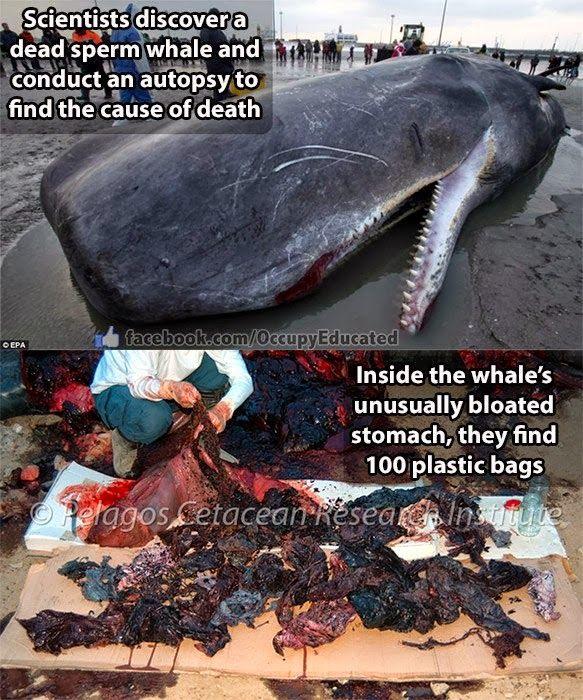 Une baleine grise meurt en nous apportant un message, avec l'estomac rempli de sacs poubelle en plastique