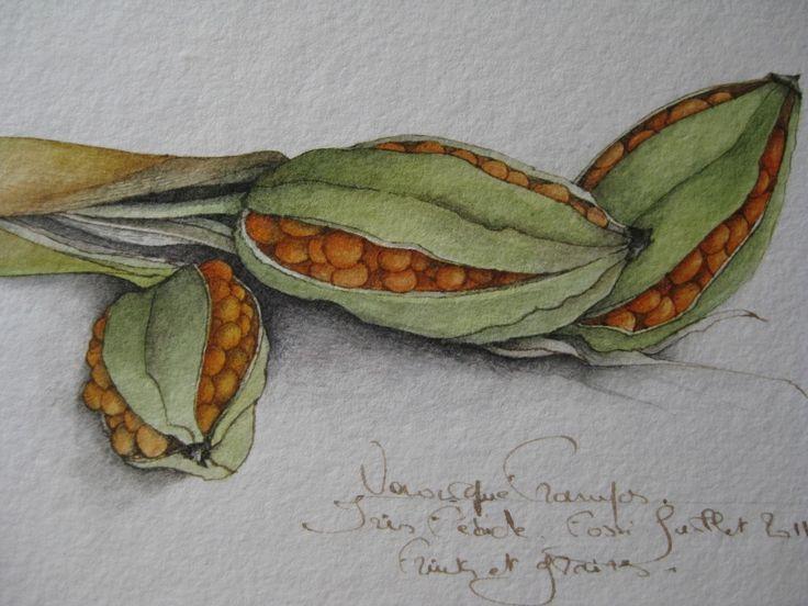 Iris fétide/Dessin à la plume et aquarelle sur papier Moulins Richard de Bas 480g