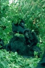 Resultado de imagen para gorila de espalda plateada