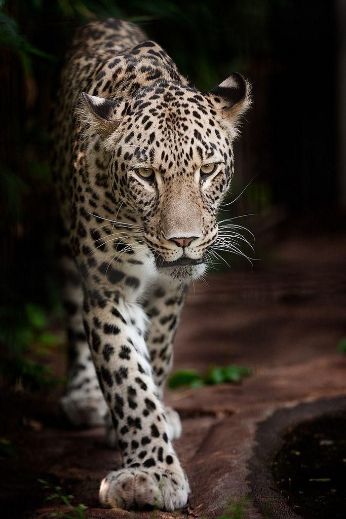 #Leopard #Tiere #Wild ♥ stylefruits Inspiration ♥