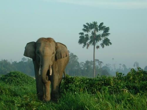 An Elephant in Tesso Nilo National Park, Indonesia