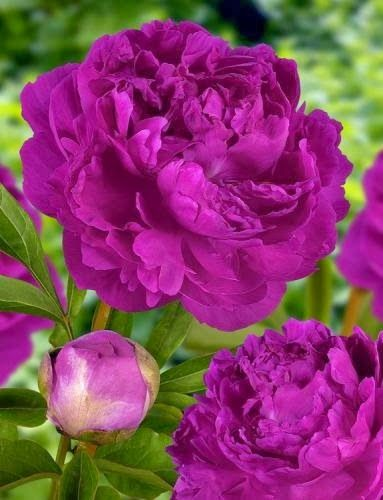 Peony Flowers, love this bush as a bold statement plant.