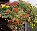 Balkonkasten mit Gazanien, Verbenen und Strohblumen