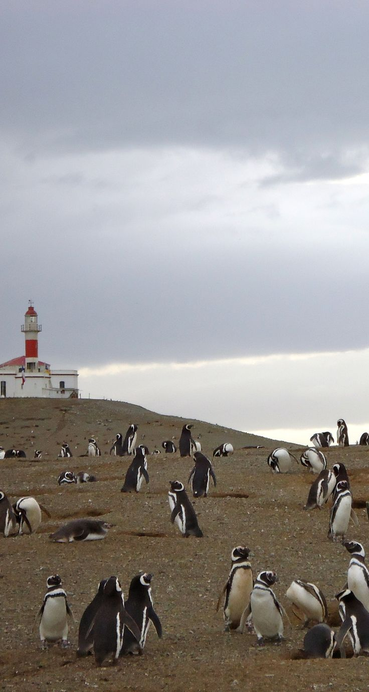 Penguins on Isla Magdalena, Punta Arenas, Chile BECAUSE PENGUINS!!! (I want to hug penguins).