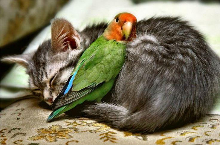 Dwerg papegaai met poes.