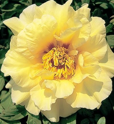 ~Klehm's Song Sparrow Farm and Nursery--Tree Peonies--'Age of Gold'