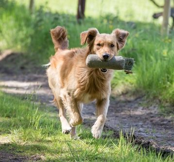 Golden Retriever Breed Profile Top Dog Tips Goldenretriever