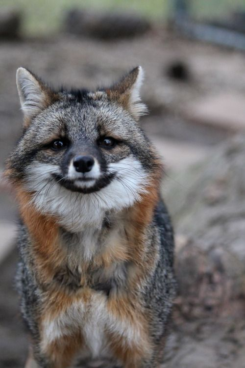 A Young Gray Fox Who Looks Like He's too Frightened to Move.