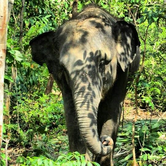 Giving captive elephants time to roam free and graze in the forest