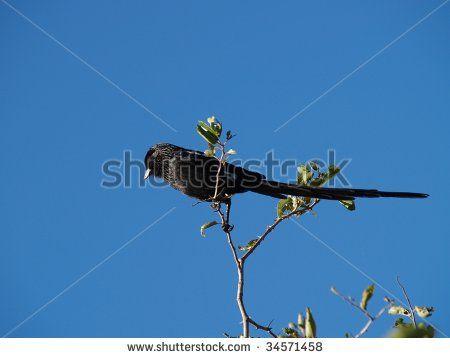 Magpie Shrike sitting on branch of tree.