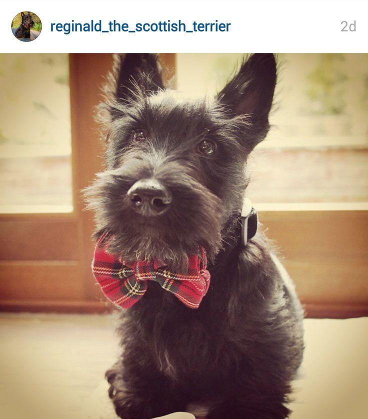 Scottie Mom: Scottish Terriers of Instagram: June 15