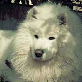 Cool Samoyed Chubby Adorable Dog - bbf9963f85cd05c2fe8608c8b09ccbca--photography-pics-the-lion  Picture_271345  .jpg