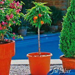 Obst-Zwerg® Nektarine 'Small Sunning'