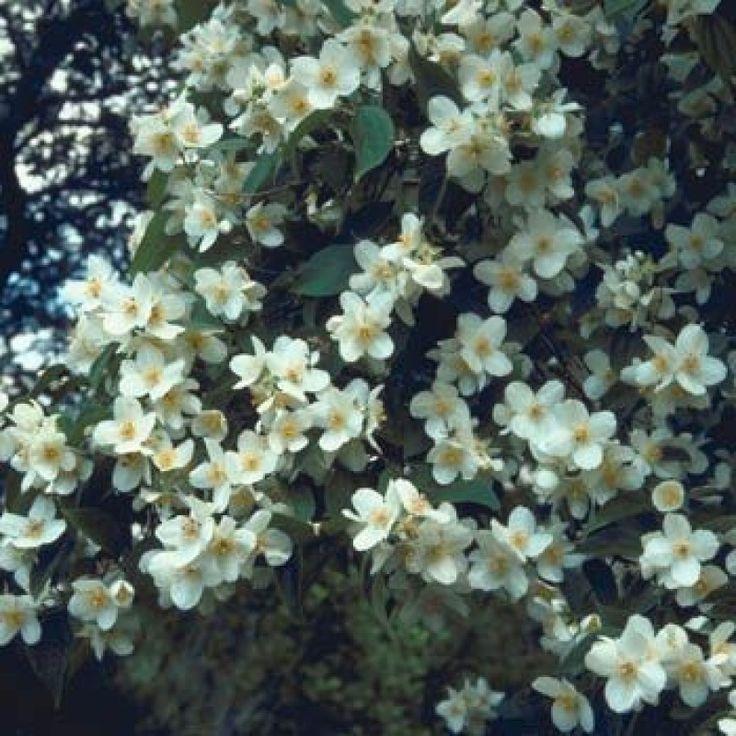die besten 25 pfeifenstrauch ideen auf pinterest jasmin pflanze duftjasmin und annabelle. Black Bedroom Furniture Sets. Home Design Ideas