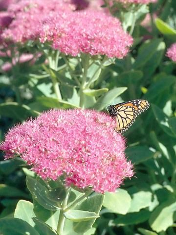 20 best blooming in august images on pinterest agricultural 10 top succulent plants for the midwest mightylinksfo
