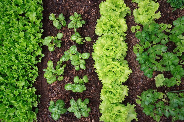 Какие овощи на грядках совместимы друг с другом?