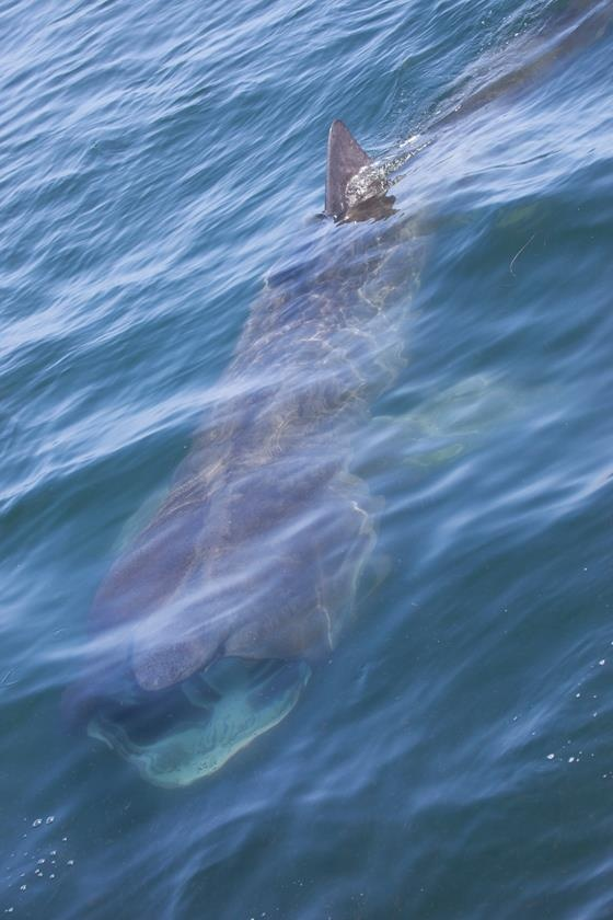 Basking Shark  Photo copyright (c) Daniel Bianchetta