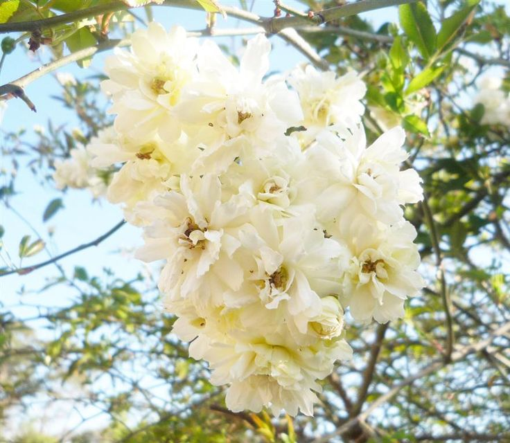 17 best images about long flowering plants on pinterest shrubs spring and to autumn - Climbing plants that produce fragrant flowers ...
