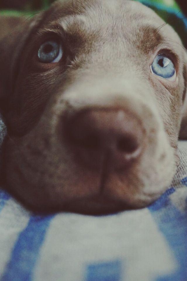 Weimaraner puppy :)