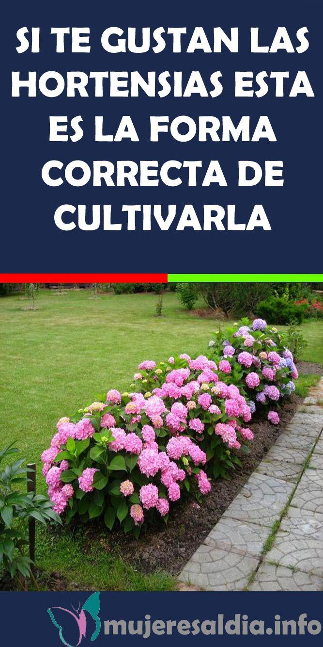SI TE GUSTAN LAS HORTENSIAS ESTA ES LA FORMA CORRECTA DE CULTIVARLA #HORTENSIAS …