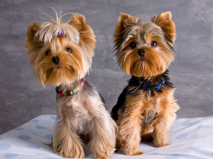 cutest yorkies other than mine :)